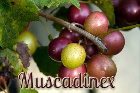 What are the dramatic health benefits of the Amazing American Muscadine? | Muscadinex Longevity | Scoop.it