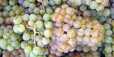 Quand des vins de cépages usurpent les certifications | Autour du vin | Scoop.it