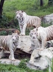 Los tigres blancos en realidad no son albinos, explica la genética - Tendencias 21 | Genética y Sociedad | Scoop.it