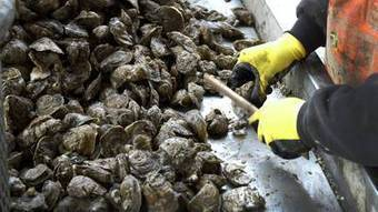 State: Oyster harvest may be the biggest in 25 years   aquaculture   Scoop.it