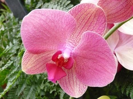 Phalaenopsis horticoles divers - Phalaenopsis sp. Orchidée papillon - Moth Orchid | Faaxaal Forum Photos gratuite Faune et Flore | Scoop.it
