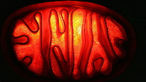 Improving Mitochondrial Replacement Therapy | The Scientist Magazine® | Longevity science | Scoop.it