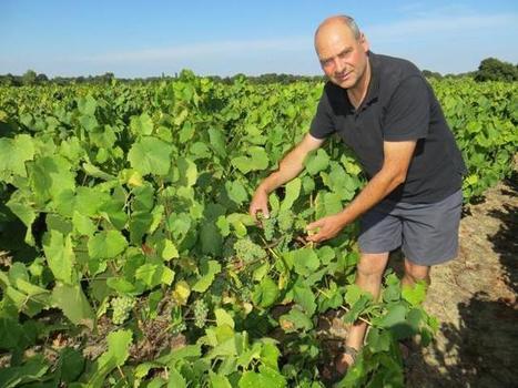 Ban des vendanges. Le muscadet devrait être vendangé vendredi | Le vin quotidien | Scoop.it
