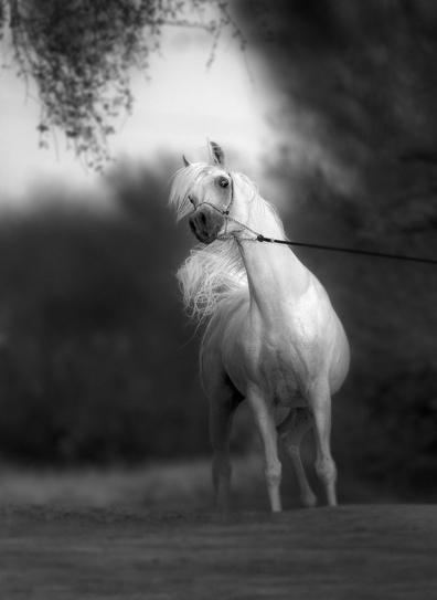 My Winners: Arabian Horses | Arabian Horses | Scoop.it