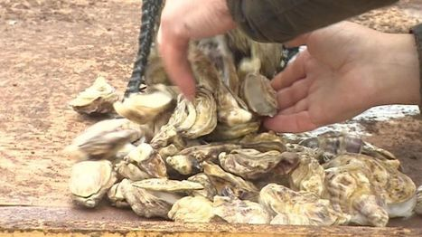 Porlock Bay oysters harvested for first time in 100 years - BBC News | Changing Chemistry - The People Impacted by Ocean Acidification | Scoop.it