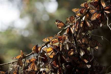Deforestation in Mexico butterfly reserve more than triples | GarryRogers NatCon News | Scoop.it