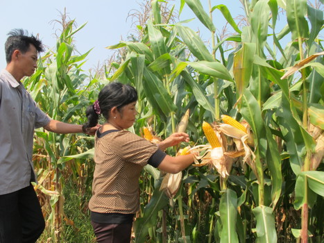 The first harvest of Ecofarm's corn in Long An province. SNV Vietnam   Base of the Pyramid (BoP) Markets, Marketing at the BoP & Inclusive Business   Scoop.it
