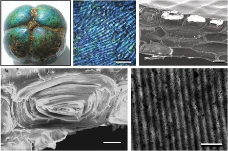 Bioinspired Fibers Change Color When Stretched | Biomimicry | Scoop.it