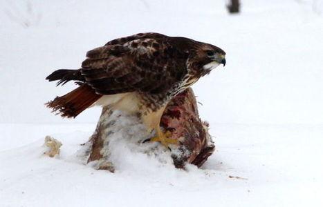 Outdoors: Winter wears on birds - Madison.com | Threats to raptors | Scoop.it