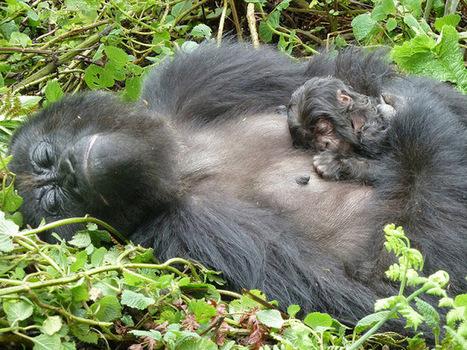 ALLPE Medio Ambiente Blog Medioambiente.org : El bautizo de los gorilas de montaña en Ruanda | Saber diario de el mundo | Scoop.it