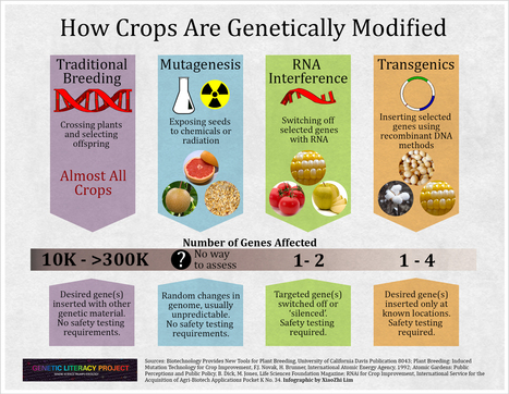 GLP Infographic: How crops are modified–Are GMOs more dangerous?   Genetic Literacy Project   Genetic engineering and Human genetics, background reading and resources for IB   Scoop.it