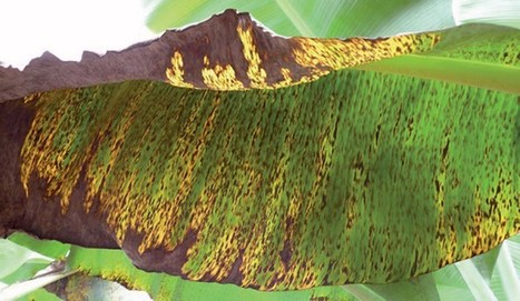 #Banana Plant #Farmers!! Tiny, chlorotic spots appear on bottom surface of 3rd or 4th open leaf & converting in brown streaks?? | Effective Biological treatment | Scoop.it
