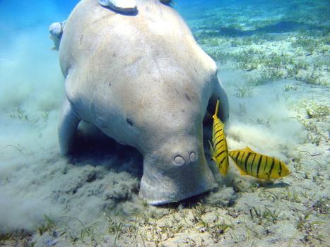 Sri Lanka's Dugongs Need Protection | Tech Education | スリランカにて、英語ベースのプログラミング学校開校! | Scoop.it