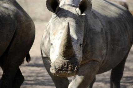 Over 100 rhinos poached in S.Africa in past month | NGOs in Human Rights, Peace and Development | Scoop.it