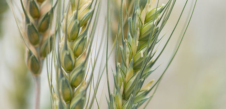 USA: Historic agreement bolsters CSU's partnership with Colorado wheat growers | WHEAT | Scoop.it