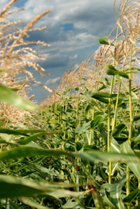Report Finds GE Drought Tolerant Corn More Hype than Help - eNews Park Forest | GMO Agriculture | Scoop.it