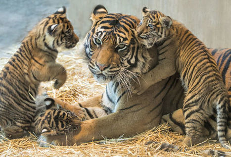 Sick wildlife trafficker arrested after being caught with frozen tiger cubs | Farming, Forests, Water, Fishing and Environment | Scoop.it