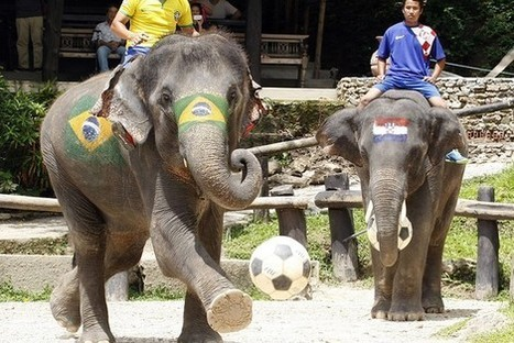Thailand, not participating in the World Cup, offers alternative soccer: elephants vs. humans | Everything Else | Scoop.it
