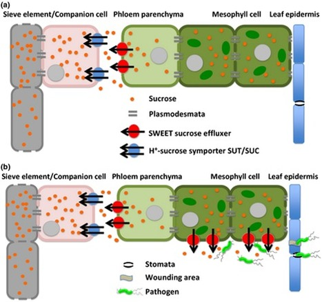 New Phytol.: SWEET sugar transporters for phloem transport and pathogen nutrition (2013) | research on plant resistance gene for disease | Scoop.it