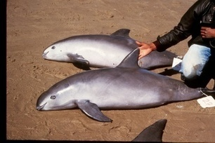 Critically Endangered Porpoise Could Be Extinct in Four Years | wildlife | Scoop.it
