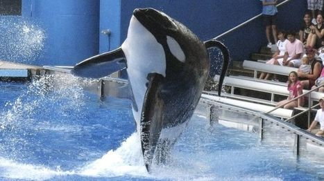 SeaWorld To Stop Breeding Orcas Following Controversy - BBC News | Everything from Social Media to F1 to Photography to Anything Interesting | Scoop.it