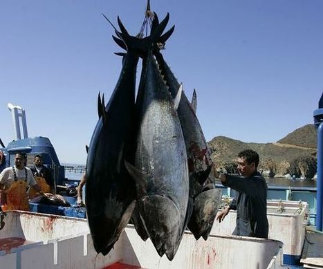 Radioactive Bluefin Tuna Caught Off California Coast - Liberals Unite | LibertyE Global Renaissance | Scoop.it