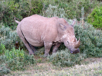 South Africa: 746 rhinos killed by poachers so far in 2013 | Wildlife Trade: a billion dollar industry | Scoop.it