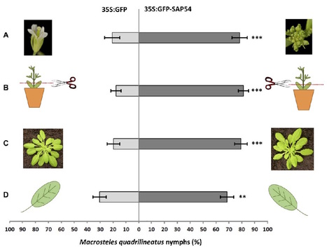 bioRxiv: A bacterial parasite effector mediates insect vector attraction in host plants independently of developmental changes (2016) | Plants and Microbes | Scoop.it