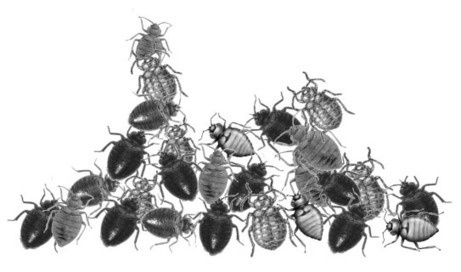 Can Alcohol Kill Bed Bugs Perfectly?   Pest Control Information   Cara Cepat Hamil   Scoop.it