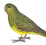 After 100 Years, Has the Elusive Night Parrot Finally Been Discovered? | Extinction Countdown, Scientific American Blog Network | Birding in Australia | Scoop.it