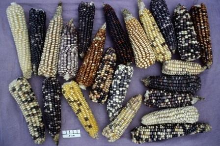 Mexique : le berceau du maïs bientôt recouvert d'OGM ? - Alimentation - Basta !   Abeilles, intoxications et informations   Scoop.it