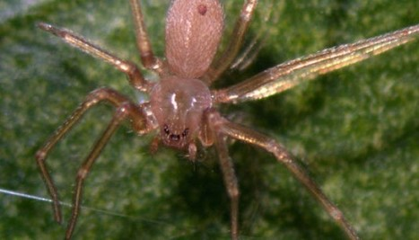 Deux femmes mordues par des araignées : pas de panique. Leur venin n'est pas mortel | EntomoNews | Scoop.it
