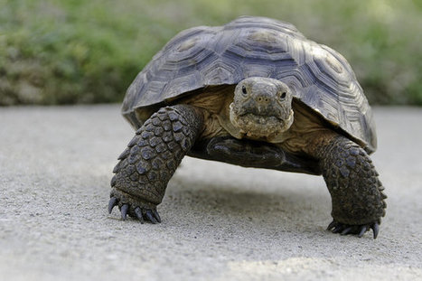 Conservationists Object To $50 Million Plan To Relocate Endangered Desert Tortoises | GMOs & FOOD, WATER & SOIL MATTERS | Scoop.it