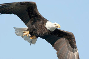 Eagle viewing cruises, hikes planned in area during winter months - Joplin Globe | Pontoon Manufacturers | Scoop.it