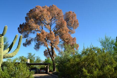 Beetles ravaging Tucson's big pines | Arizona Daily Star | CALS in the News | Scoop.it