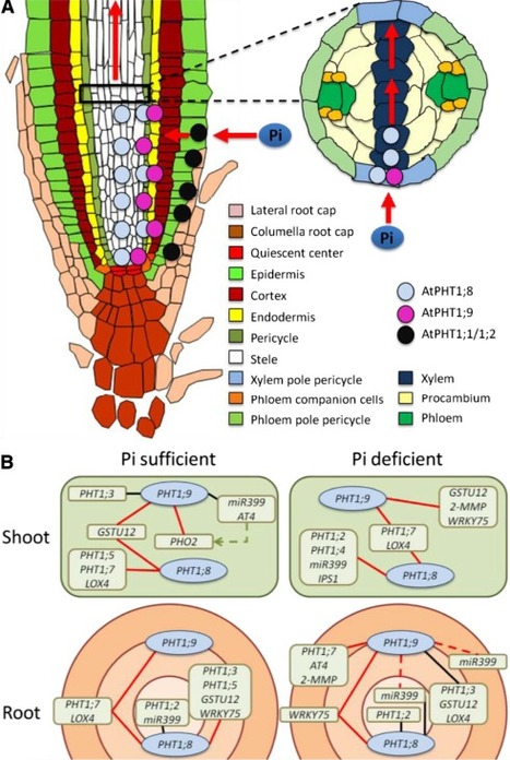 Arabidopsis PHOSPHATE TRANSPORTER1 genes PHT1;8 and PHT1;9 are involved in root-to-shoot translocation of orthophosphate | Plant Biology Teaching Resources (Higher Education) | Scoop.it