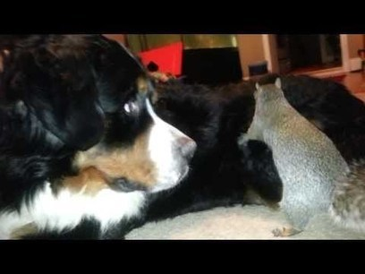 Squirrel hides nuts in a Bernese Mountain dog (as seen on Ridiculousness) | staged | Scoop.it