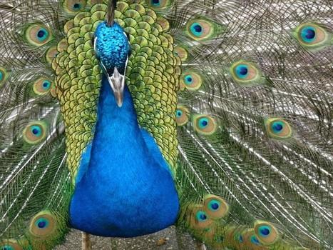 bleu - Photos d'oiseaux : Paon bleu - Paonne - Pavo cristatus - Indian peafowl   Fauna Free Pics - Public Domain - Photos gratuites d'animaux   Scoop.it