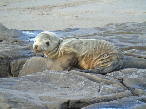 Why do Climate Deniers Hate Sea Lion Pups? | Sustain Our Earth | Scoop.it