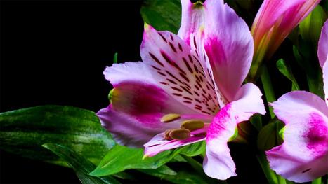 Breathtaking Timelapse Shows Flowers in Bloom «TwistedSifter   Flowers!   Scoop.it