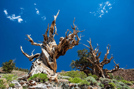 What Is the Oldest Tree in the World? | Oceans and Wildlife | Scoop.it