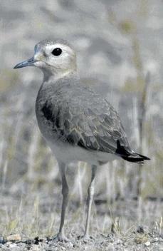 Survey reveals 44% decline in rare Tricolored Blackbirds | #California | CSPB Ornithologist's Alliance. | Scoop.it