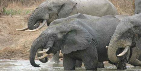 Orphaned Elephants Face Lifetime Of Negative Social Effects | Rhino poaching | Scoop.it