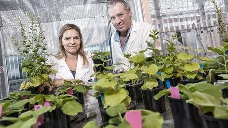 """Magic"" native Australian tobacco plant could be key to space-based food production 