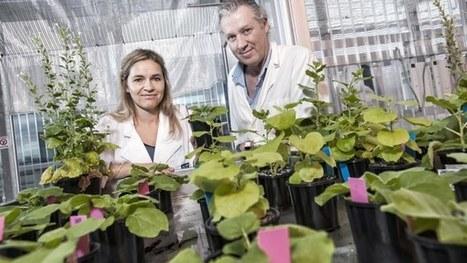 """Magic"" native Australian tobacco plant could be key to space-based food production | Aquaponics~Aquaculture~Fish~Food | Scoop.it"