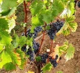 Celebrate International Cabernet Sauvignon Day August 29 | Autour du vin | Scoop.it