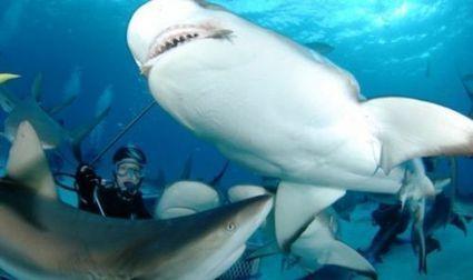 Écovolon-Terre : partez plonger au milieu des requins des Fidji - Futura Sciences | Ecovolontariat | Scoop.it