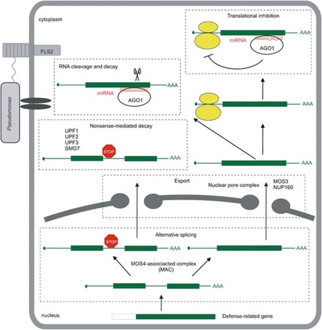 New Phytol.: Emerging role for RNA-based regulation in plant immunity (2012) | Plant-Microbe Interaction | Scoop.it