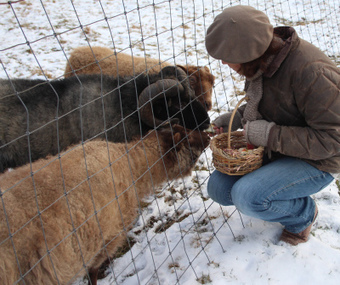 Last Chance | Wing and a Prayer Farm | Shetland sheep | Scoop.it