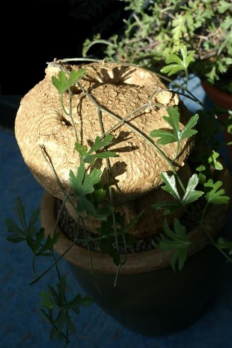 Photo de Cucurbitaceae : Kedrostis africana - Flore de Namibie - Plantes d'Afrique du sud - Cucurbitacée à caudex - Caudiciforme - Pachycaule   Cactus and Succulents : Photos de cactus et de plantes grasses gratuites et libres de droits   Scoop.it